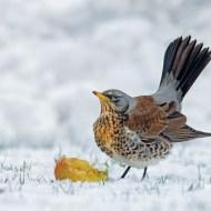 fiap ribbon-ferrari_gianpiero_winter fieldfare_55_1