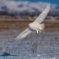 fiap silver-chang_ming-chih_snowy owl 2
