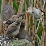first-reed warbler feeding chicks-van greaves