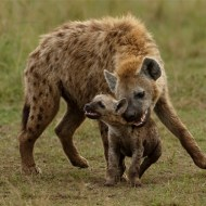 gpu ribbon-hyena bonding with cub-ian whiston dpagb efiapb abpe-england