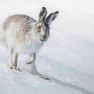 gpu silver cairngorm mountain hare ian mitchell