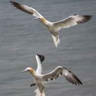 highly commended-gannets return to the nest-john moore