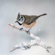 pagb gold medal crested tit in snow#pip wheatcroft