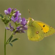 psa ribbon-clouded yellow on alfalfa-francesca bramall-england