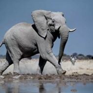 psa silver medal revved up elelphant