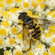 second-hoverfly myathropa florea-geraldine stephenson