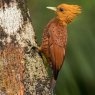 sps ribbon-chestnutcolored woodpecker-geraldine stephenson arps dpagb-england