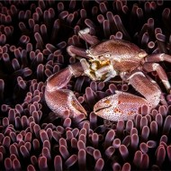 sps ribbon-porcelain crab, molucca sea-david keep arps bpe4 cpagb-england