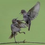 sps ribbon-starling fight-phillip barber-england
