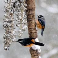 sps silver-wang_ku-san_snow bird