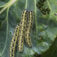 third-caterpillars of large white butterfly-barbara lawton