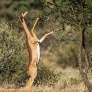 Commended-Gerenuk Feeding-Anthony Timmins