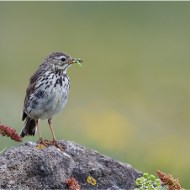 Commended-Meadow Pipit with Larva-Dawn Osborn