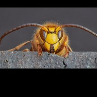 Highly Commended-European Hornet-Philippa Wheatcroft