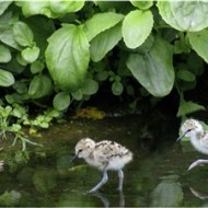 Commended-Black Winged Stilt with Chicks-Pauline Fiddian