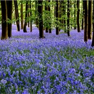 Commended-Bluebell Wood-Pauline Fiddian