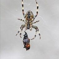 Commended-Garden Spider Encasing Wasp in Web (w)-Robert Jones