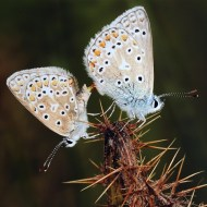 Commended-Mating Common Blues-Ray Shorthouse