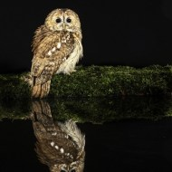 Commended-Tawny Owl-Peter Herreaman