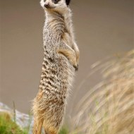 First-Meerkat Lookout-Pauline Fiddian