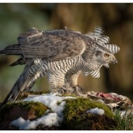 First-Ruffled Goshawk with Prey-Philippa Wheatcroft