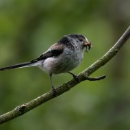 Highly Commended-Long Tailed Tit-David Myles
