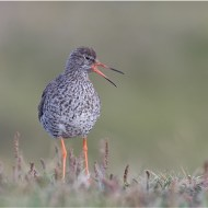 Highly Commended-Redshank Calling-Dawn Osborn