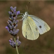 Third-Small White-Peter James Siviter