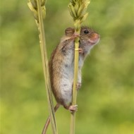 Commended-Harvest Mouse-Geraldine Stephenson