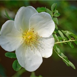 Commended-Dog Rose-Ray Allen