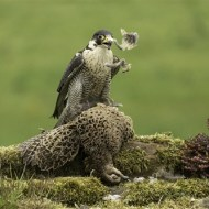 First-Peregrine Falcon Anf Grouse-Peter Herreaman