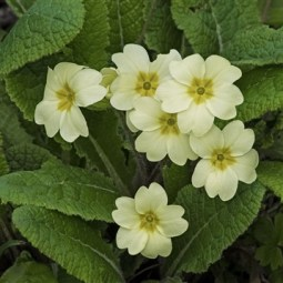 First-Primroses-Barbara Lawton