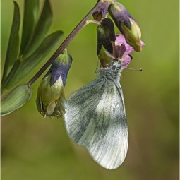 First-Wood White-Robert Tunstall