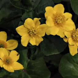 Second-Marsh Marigolds-Mike Edwards