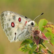 Commended-Apollo Butterfly-Geraldine Stephenson ARPS DPAGB