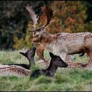 Fallow Deer-Paul Smith