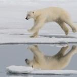 Polar Bear Mid Jump-Kaz Diller