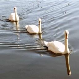 Swans River Seven-Keith Clenton
