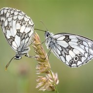 Third-Male Marbled Whites-David Myles