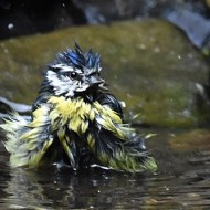 -Bath Time for Blue Tit-John Holt ARPS DPAGB BPE5