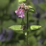 Commended-Red Campion Yoxall Woods-Paul Cutland