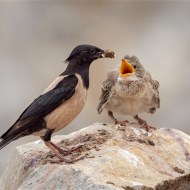 Commended-Rosy Coloured Starling with Young-Geraldine Stephenson ARPS DPAGB