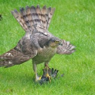 Commended-Sparrow Hawk with Starling-Paul Cutland