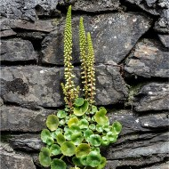 Commended-Wall Pennywort-Andy Fryer