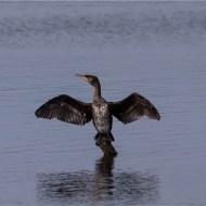 -Cormorant Wing Drying-Alison J Fryer