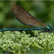 -DSC 5405 the Beautiful Demoiselle (Calopteryx Virgo)-Peter Gennard MFIAP EFIAPp