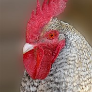 -Dave the Rooster-Trevor Barlow LRPS