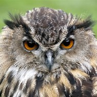 -Eagle Owl-Harvey Bird