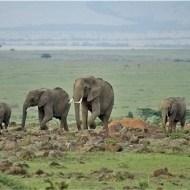 -Elephants Early Morning, Masai Mara-Pauline Fiddian