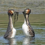 -Great Crested Grebes Reed Dance-Robert Gerald Tunstall